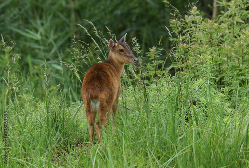 Fototapeta A pretty female Muntjac Deer, Muntiacus reevesi, feeding on an island in the middle of a lake in the UK. obraz