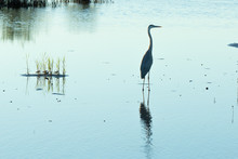 Great Blue Heron Standing In Calm Waters At Twilight While Hunting For A Meal As Tiny Sandpipers And A Much Larger And Very Loud Clapper Rail Marched Past In The Background.