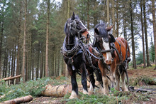 Traditional Forestry With Heavy Horses In North Devon, England