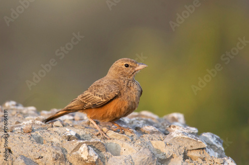 Photo Rufous tailed lark, Ammomanes phoenicura, also sometimes called the rufous-taile