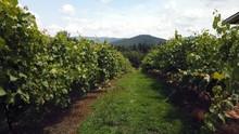 Walking Outdoors Through The Grape Vines At Local Ott Farms And Vineyard In Ellijay - North GA Next To Blue Ridge And Jasper.