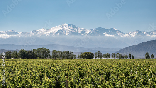 Obraz Vineyard with snow mountain - fototapety do salonu