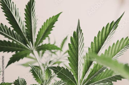 marijuana legalization, marijuana leaves on light, indoor grow cannabis indica, white background cultivation cannabis, Cannabis vegetation plants, hemp marijuana CBD, - fototapety na wymiar