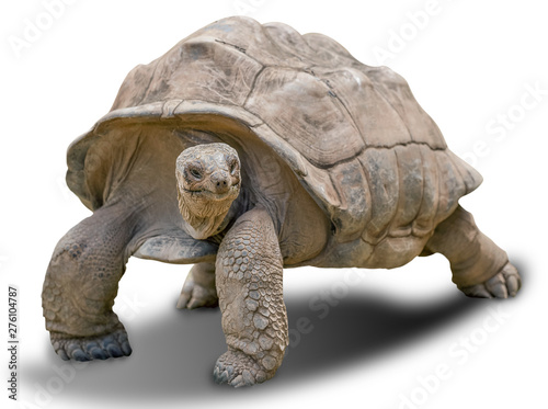 Fotografie, Obraz  Giant tortoise on white background