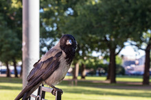 A Crow Stands On A Bench And L...