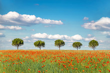 Row Of Five Trees In An Organic Wheat Field With Poppies
