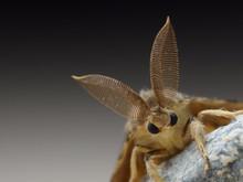 Gypsy Moth Detail, Lymantria Dispar
