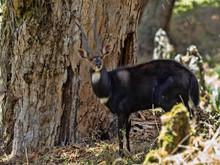 Very Rare Menelik Bushbuck, Tragelaphus Scriptus Menelik, Lives Only In Bale National Park, Ethiopia