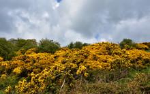 Brilliant Blooming Golden Furze Bushes Scattered Across The Landscape