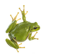 European Tree Frog (Hyla Arbor...