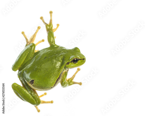Spoed Foto op Canvas Kikker European tree frog (Hyla arborea) isolated on white background, looking to the right side
