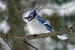 Blue Jay, Cyanocitta cristata, perched with seed
