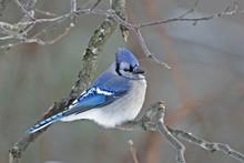 Blue Jay, Cyanocitta Cristata,...