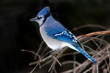 Blue Jay, Cyanocitta Cristata, Side View