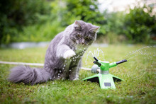 Young Playful Blue Tabby Maine Coon Cat Playing With Water Coming Out Of A Garden Sprinkler Outdoors On Grass On A Hot Summer Day