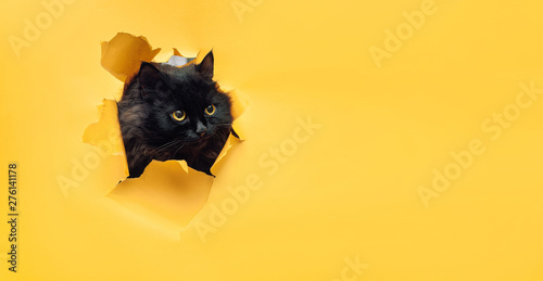 La pose en embrasure Chat Funny black cat looks through ripped hole in yellow paper. Naughty pets and mischievous domestic animals. Peekaboo. Copy space.