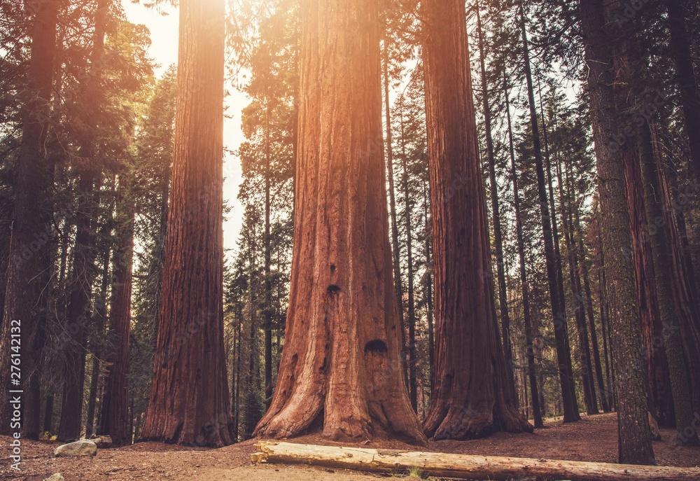 Fototapety, obrazy: Ancient Sequoias Woodland