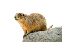 Black Tailed Prairie Dog  Isol...