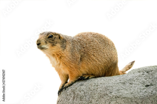 Fotomural black tailed prairie dog  isolated on white