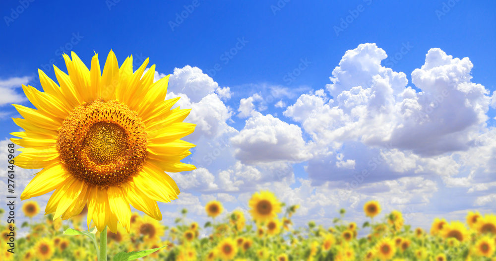 Fototapety, obrazy: Sunflowers on blue sky background