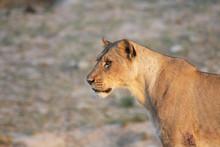 Portrait D'une Lionne Dans La ...