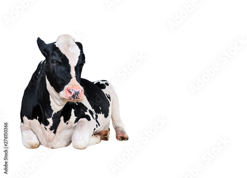 Cow full length isolated on a white background. Funny black and white lying cow looking into camera. Farm animal.