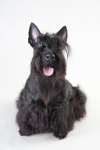 Young Scottish Terrier On A Wh...