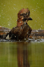 Bird Splash In Water Bath