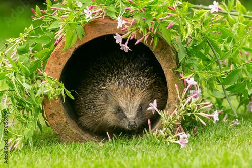Obraz na plátně Hedgehog, wild, native, European hedgehog in natural garden habitat with colourful flowering Jasmine