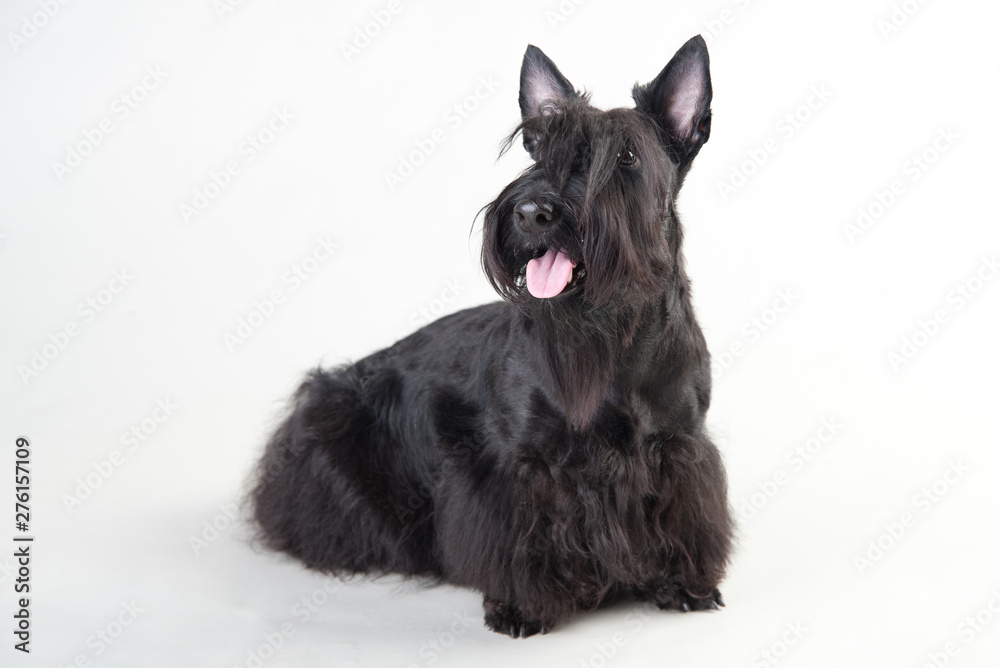 Fototapeta Young scottish terrier on a white background