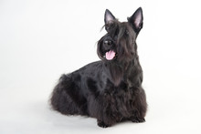Young Scottish Terrier On A White Background