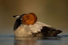Common Eurasian Pochard Cleans Itself