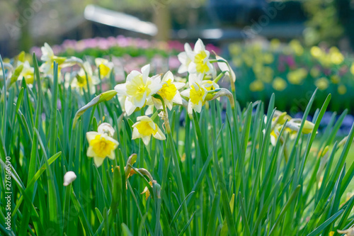Wall Murals Narcissus Amazingly beautiful Yellow Daffodils or narcis flowers, Narcissus Pseudonarcissus, in a field in the morning sunlight, depicting a spring background, flower landscape.