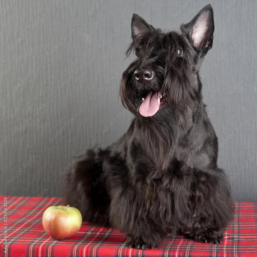 Fototapeta Young scottish terrier on a tartan cloth
