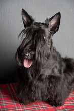 Young Scottish Terrier On A Tartan Cloth