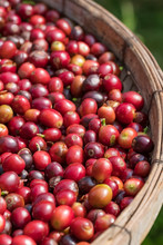 Close Up Of Red Berries Coffee Beans In Basket