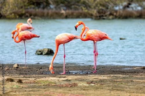 Garden Poster Flamingo Flamingos in den Mangroven auf der Insel Bonaire