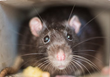 Close-up Of A Rat Looks Out Of...