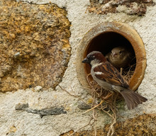 Close Up Of A Male House Sparrow (Passer Domesticus) Outside Its Nest In A Wall Mounted Clay Drainage Pipe, With The Female Sitting On Twigs Just Inside The Hole. Image With Space For Copy.