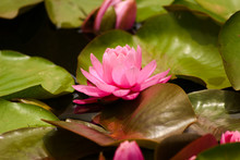 Pink Water Lily On Lilypads