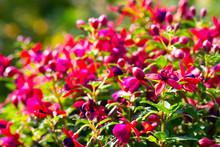 Fuchsie Mit  Weiß-rosa Blüten