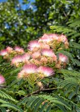 Beautiful Pink Flower Clusters Of A Persian Silk Tree In Early Summer Sun