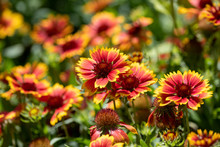 Gaillardia Pulchella Is A Genus Of Annual And Perennial Plants Of The Asteraceae Family.