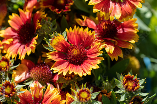 Gaillardia pulchella is a genus of annual and perennial plants of the Asteraceae family Wallpaper Mural