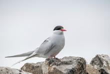 Close Up Of Arctic Tern (Sterna Paradisaea) In Nature