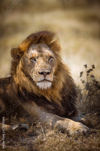African lion in Kruger National park, South Africa Canvas Print