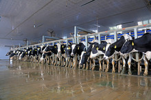 Milking Parlor In Dairy Farm