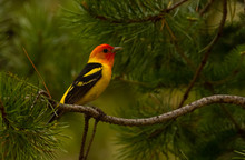 Western Tanager In Laurance S....