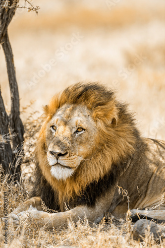 African lion in Kruger National park, South Africa Wallpaper Mural