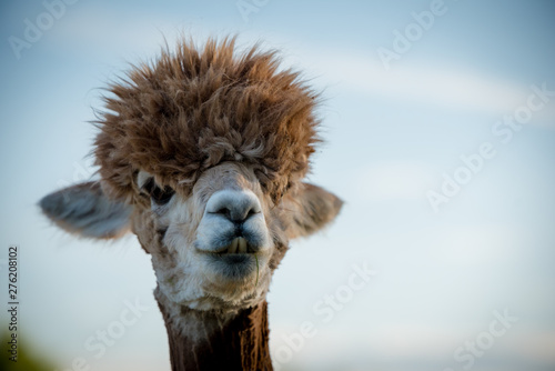 Fond de hotte en verre imprimé Lama portrait of a alpaca, isolated face. cute funny expression